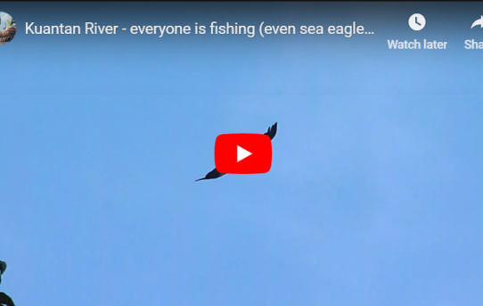 Sea Eagles on the Kuantan river