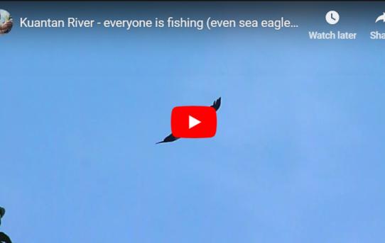 Sea Eagles on the Kuantan river